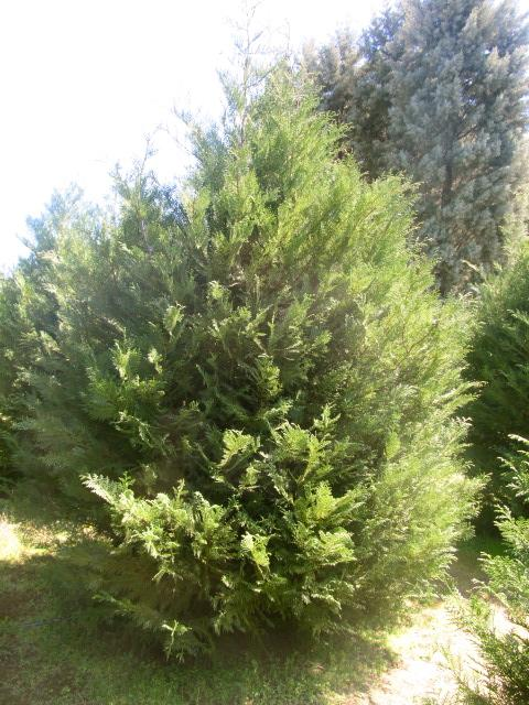 MURRAY CYPRESS- Natures Privacy Fence, Green, Tall and Beautiful Hedge
