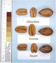 Oconee Pecan Tree,  a large, high quality nut that is early bearing at 5th year.