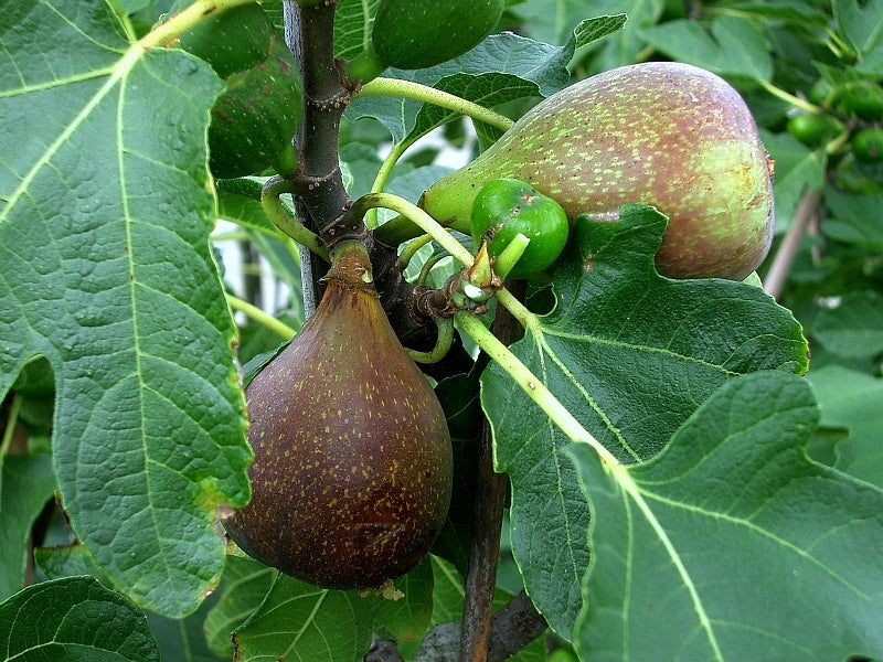 OLYMPIAN FIG TREE- Huge Fig size, as large as a tangerine, purple skinned fruit with a very sweet red to purple flesh.
