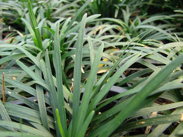 Ophiopogon japonicus 'Nana' Dwarf Mondo Grass. An evergreen ground cover with dark green leaf blades. White flowers in the Summer lead to bright blue berries in the Fall.