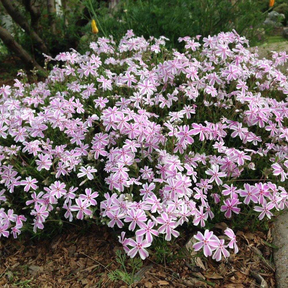 (1 Gallon) Phlox subulata 'Candy Stripe' - Needle-like green foliage, blooms in spring with pink flowers trimmed in white. Light foot traffic. Will ship you 1 Gallon plant