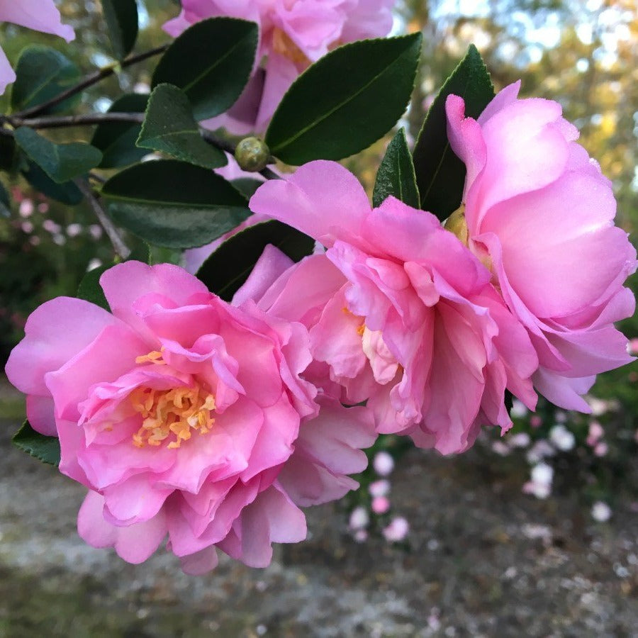 (1 Gallon) Camellia PINK SNOW gorgeous large double pink blooms, FALL/WINTER BLOOMING.