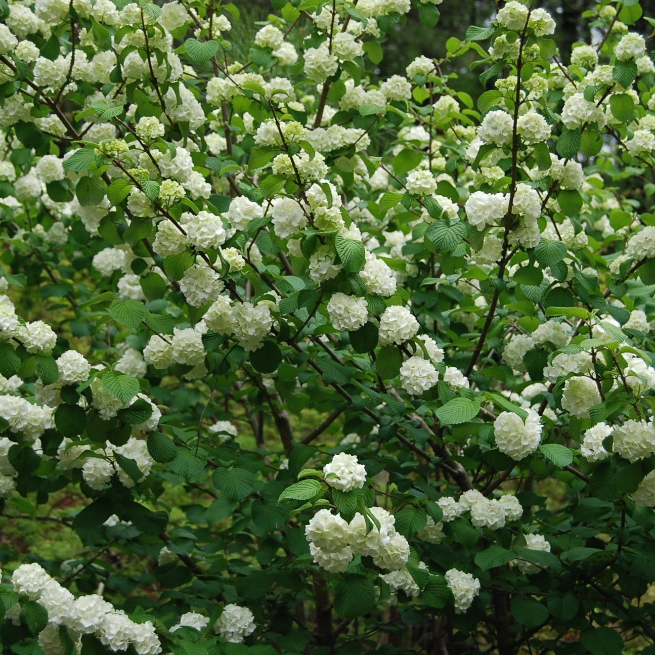 "POPCORN VIBURNUM-Hundreds of 3"" round popcorn ball flowers line every branch, virtually obscuring the foliage in the spring. PIXIES_DUD"
