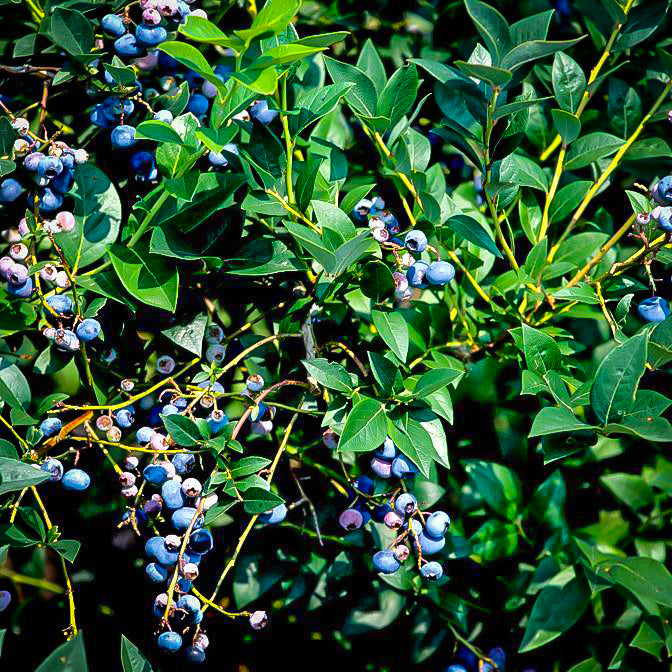 PREMIER Blueberry Bush, highly productive, one of the best for fresh eating and freezing, great taste, large fruit