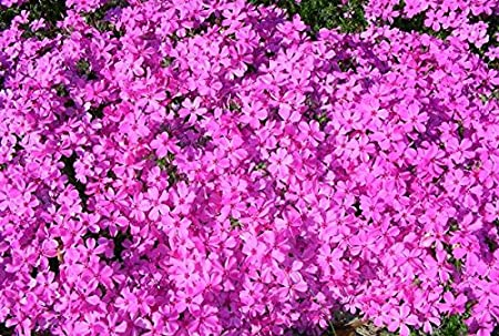 (1 Gallon) Red Wings Phlox, Phlox subulata 'Red Wings' Creeping Phlox is an eye-catching evergreen perennial with masses of starry, pinkish-crimson flowers adorned with dark red center eyes.
