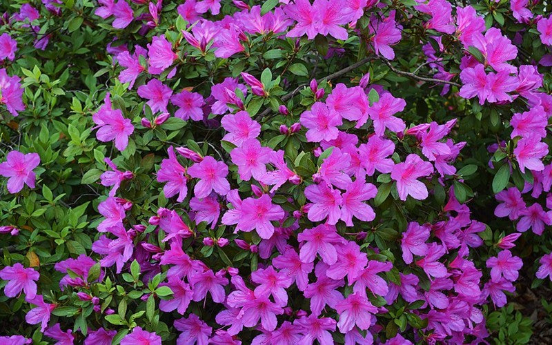 "Purple Formosa Azalea-larger sized evergreen azalea. Produces an abundance of lavender purple colored 2-3"" blooms in early spring, sometimes in the fall."