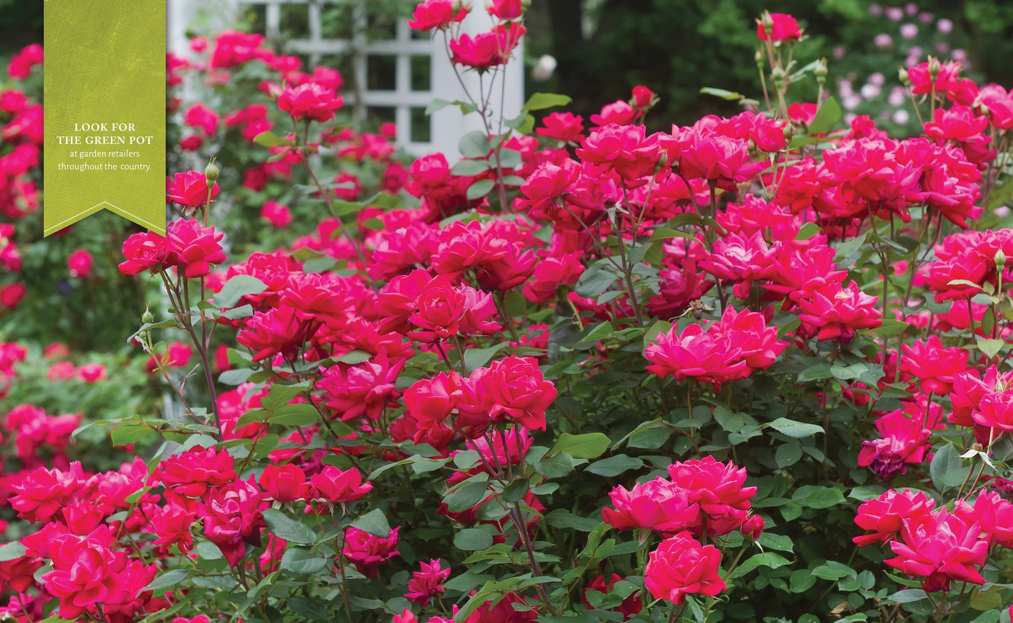RED KNOCKOUT ROSE- stands out in the landscape from the contrast between pure red blooms and dark green foliage. It blooms from spring through fall.