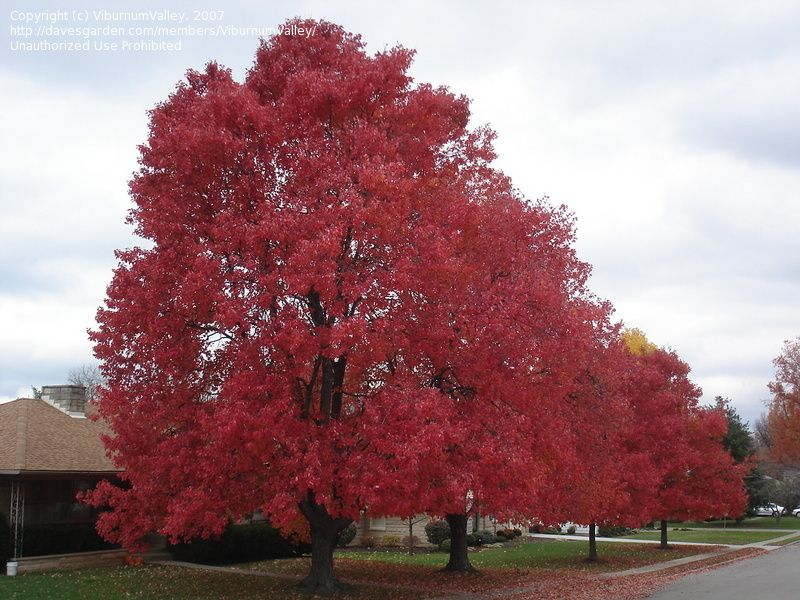 RED MAPLES Tree-Brings color to your landscape year-round. Green stems turn red in winter, new leaves are red, turning to green. Fall color is deep red or yellow.