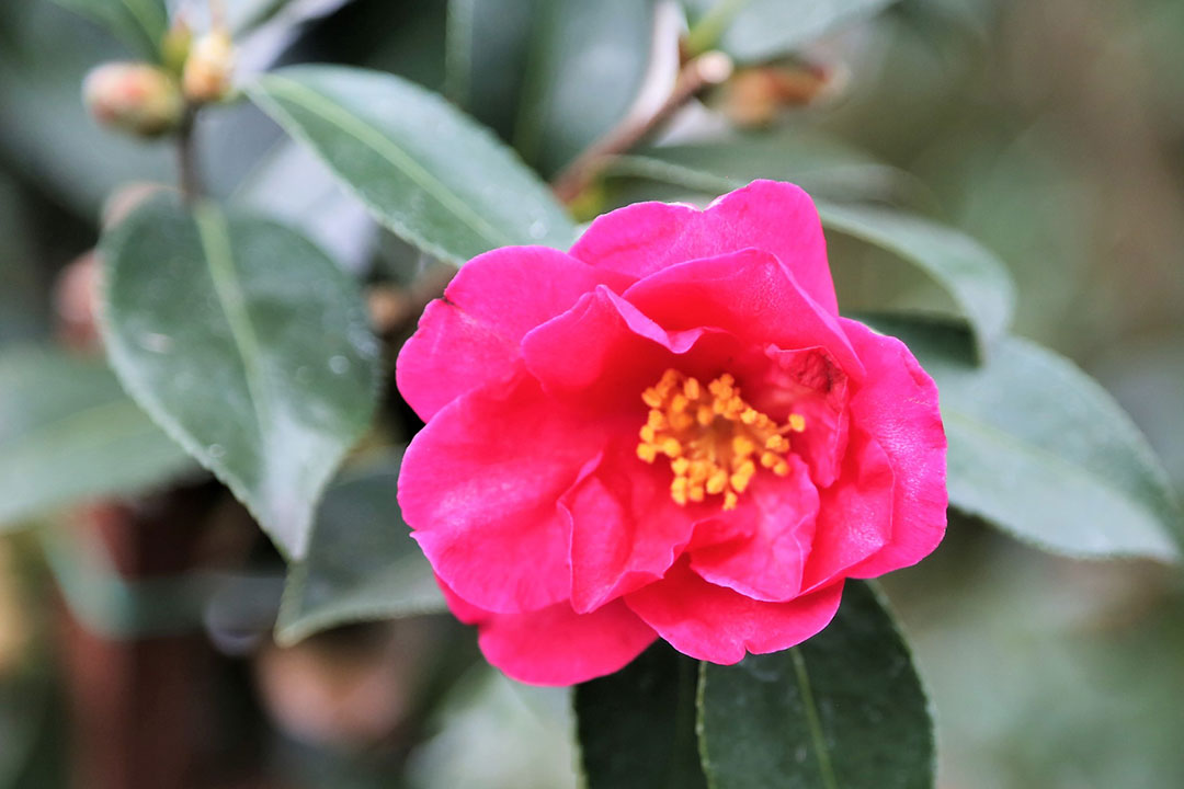 Camellia Kanjiro Flower Plant Semi Double Pink Blooms