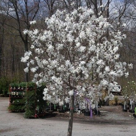 ROYAL STAR Magnolia, elegance and beauty, Good for Cold Climate, Fragrant White Flowers