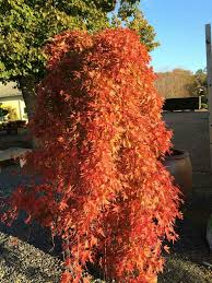 RYUSEN Japanese Maple-a GORGEOUS weeping Japanese Maple, The cascading foliage turns brilliant shades of golden-orange and bright red in fall
