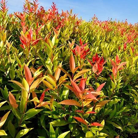 RED LEAF Tea Plant / Shrub- this plant is the one which gives you the tea leaves, to make a great tasting Sweet tea or Hot tea._Reserve_Now