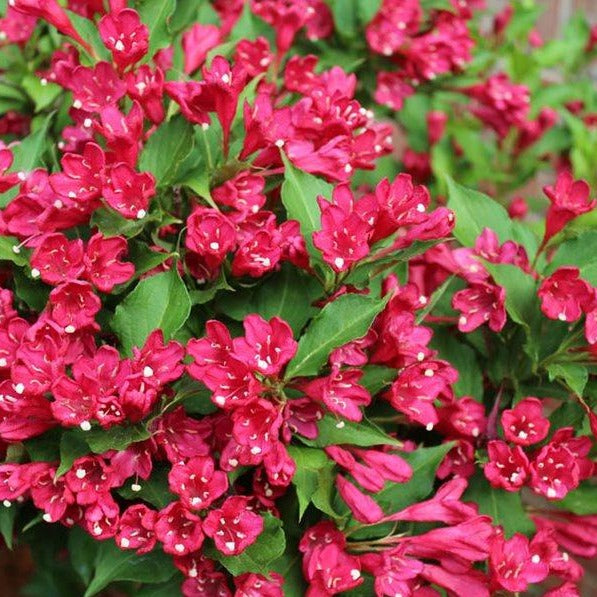 Red Weigela, Absolute Beauty, Re-blooming, bountiful Red Flowers for a long time, no maintenance