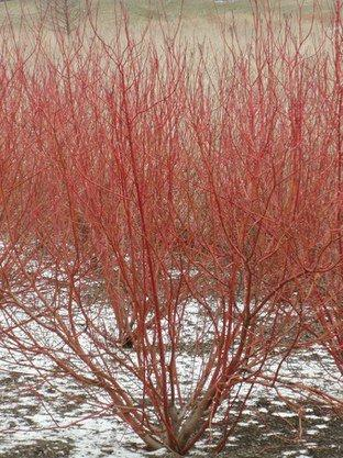 """RED TWIG"" DOGWOOD, CORAL RED BARK, GREAT FOR EROSION PREVENTION AND MASS PLANTINGS HAVE A STUNNING WINTER VISUAL IMPACT, YEAR ROUND INTEREST,_Reserve_Now"