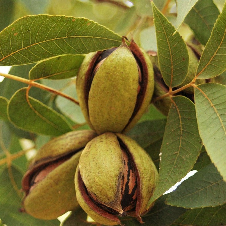 Cherryle Pecan Tree (pronounced Cherry Lee) produces a large nut size 40 nuts per lb.