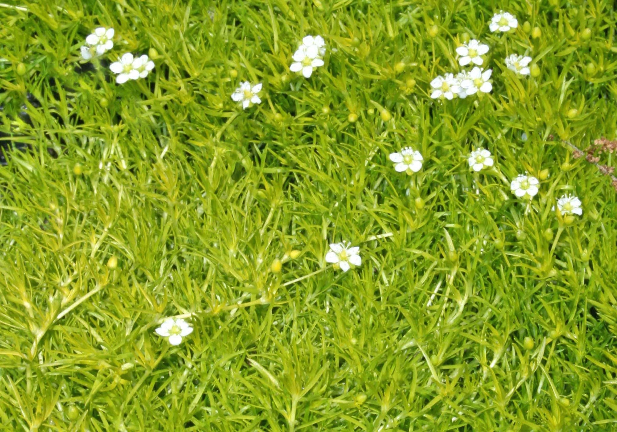 "(10 count flat 4.5"" pots) Sagina subulata 'Aurea' Scotch Moss, (GROUND COVER), Low moss-like carpet of bright neon-yellow foliage, tiny white flowers spring-summer, does not like drought or wet soil. , PIXIESDS_EGN"