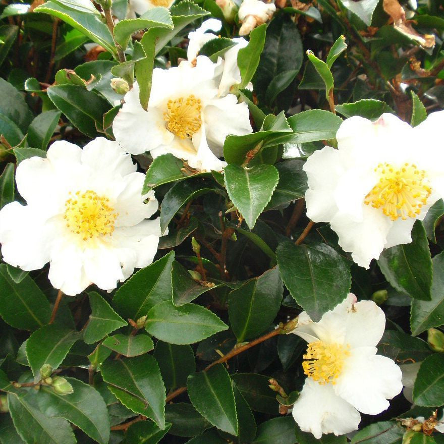 (3 gallon) Camellia Setsugekka- Large, perfectly formed, semi-double, white flowers with ruffled edges and a bright cluster of golden stamens at the center