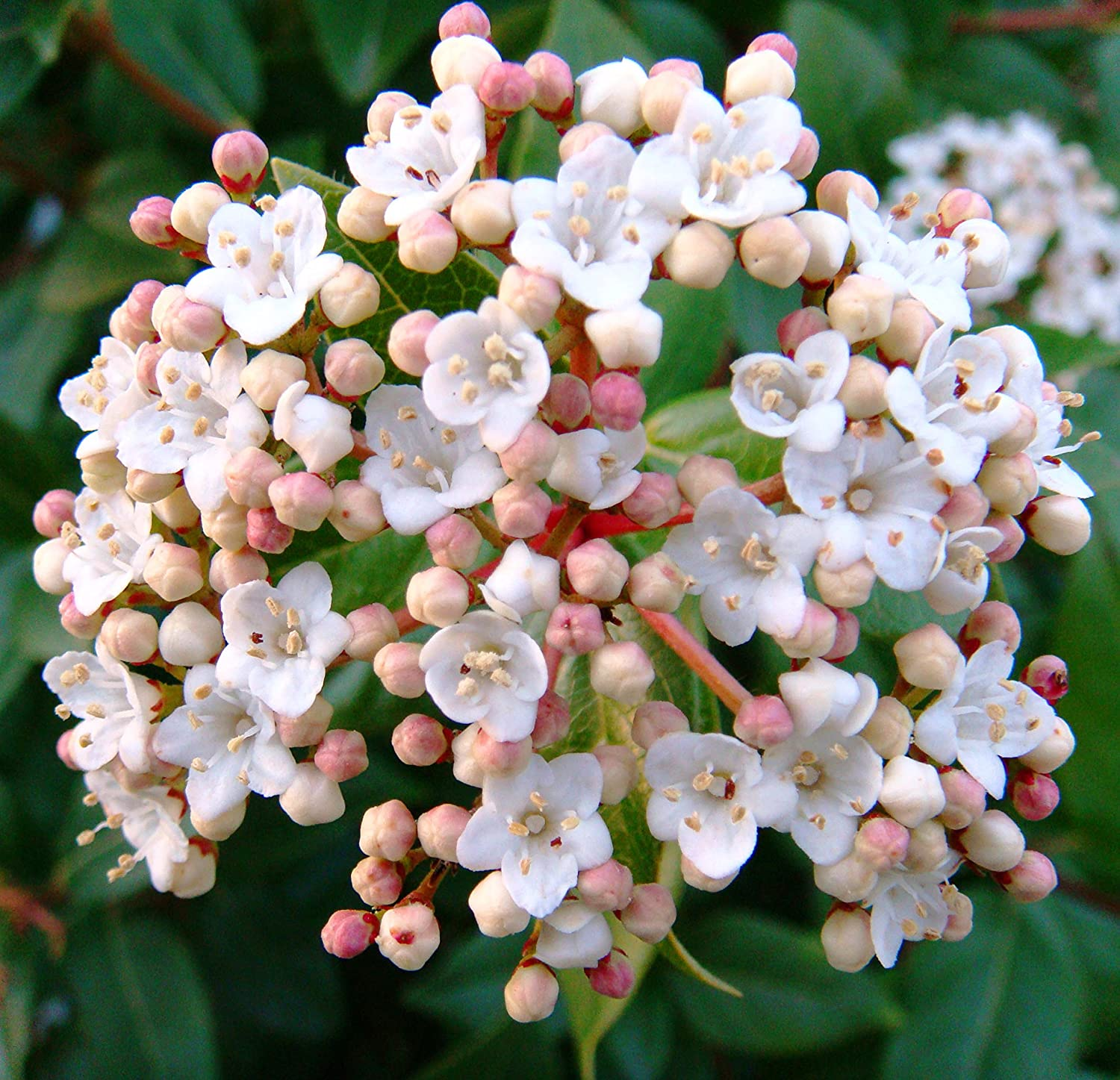 Spring Bouquet Viburnum- A beautiful, low-growing plant with dark green foliage and lightly fragrant, pinkish white spring flowers