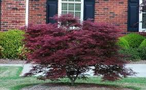 TAMUKEYAMA Japanese Maple-a GORGEOUS upright, Attractive LACE-LEAF foliage, which is a deep crimson red but soon turns to a dark-purple red,fall color is a bright scarlet