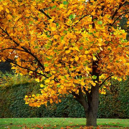 (1 Gallon) Tulip Poplar Tree- Has beautiful orange and green, tulip-shaped flowers that appears in May and June. Uniquely shaped, bright green leaves and in Fall color is yellow or golden yellow.