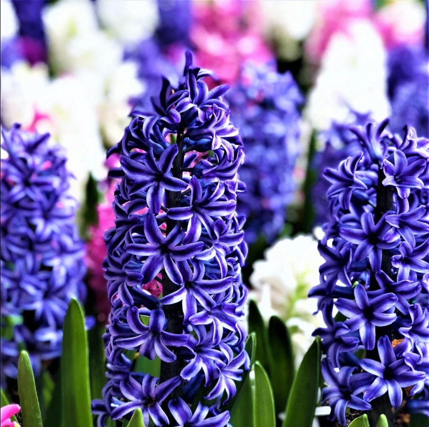 (Pack of 5 BULBS)    HYACINTH BLUE JACKET Brilliant, fragrant, spikes of NAVY BLUE BLOOMS and their intense, often overpowering, fragrance.