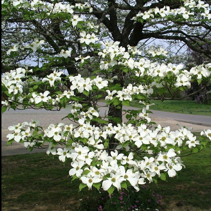 White Dogwood Tree Gorgeous White Flowers In Spring Excellent