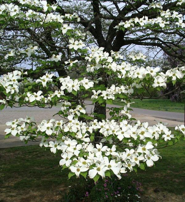 Cherokee Princess Dogwood Tree, glorious long lasting pure white blooms cover the entire tree in Spring