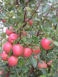 Yates Apple Tree produces a small red apple primarily used for making cider apple.