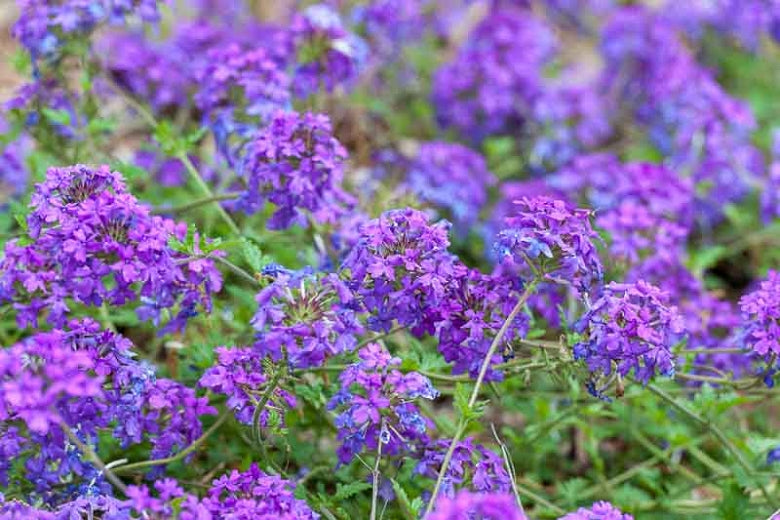 (1 gallon) Verbena x Homestead Purple Verbena x Homestead Purple-this gorgeous Verbena produces clusters of rich purple flowers throughout the entire summer.
