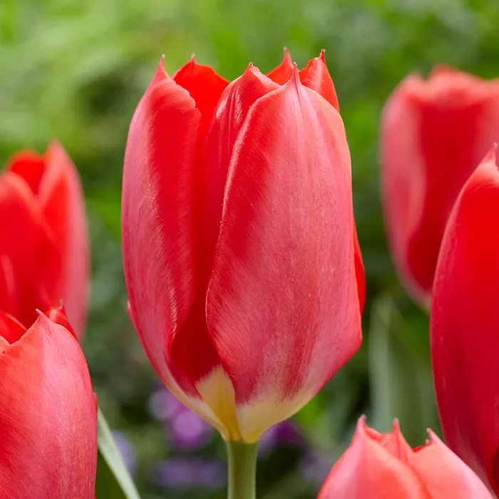 (Pack of 10 BULBS)   TULIP RED EMPEROR STUNNING Bright Fiery Red Blooms. One of the first tulips to bloom each year