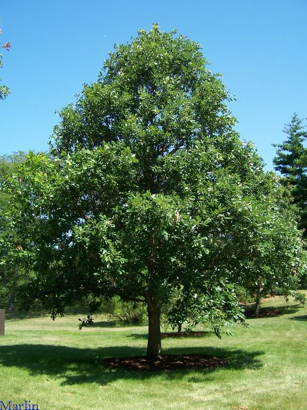 (1 Gallon) White Oak Tree- This beautiful everlasting oak tree can reach 100 feet in height and live for centuries. It produces branches that provides shade and acorns that feeds wildlife.