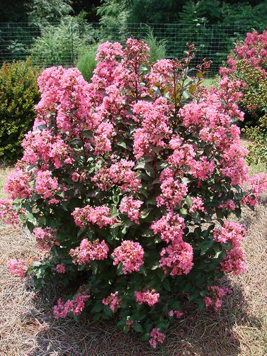 (1 Gallon) coral magic CRAPE MYRTLE, semi dwarf,salmon pink flowers Shipped in 1 Gallon size (Hydrangeas Shrub, Evergreens, Gardenia