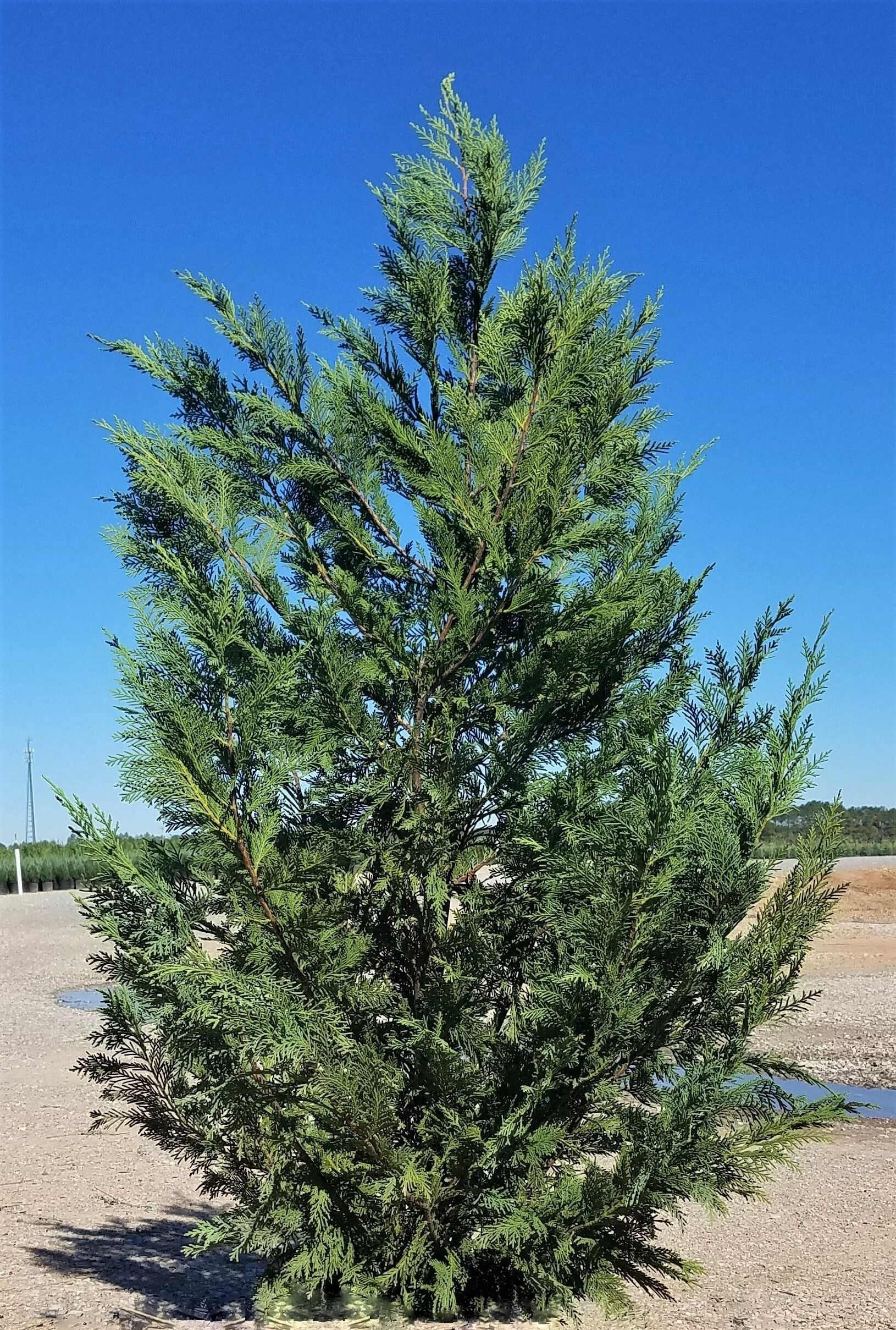GREEN GIANT Thuja-  Natures Privacy Fence, Green, Tall and Beautiful Hedge