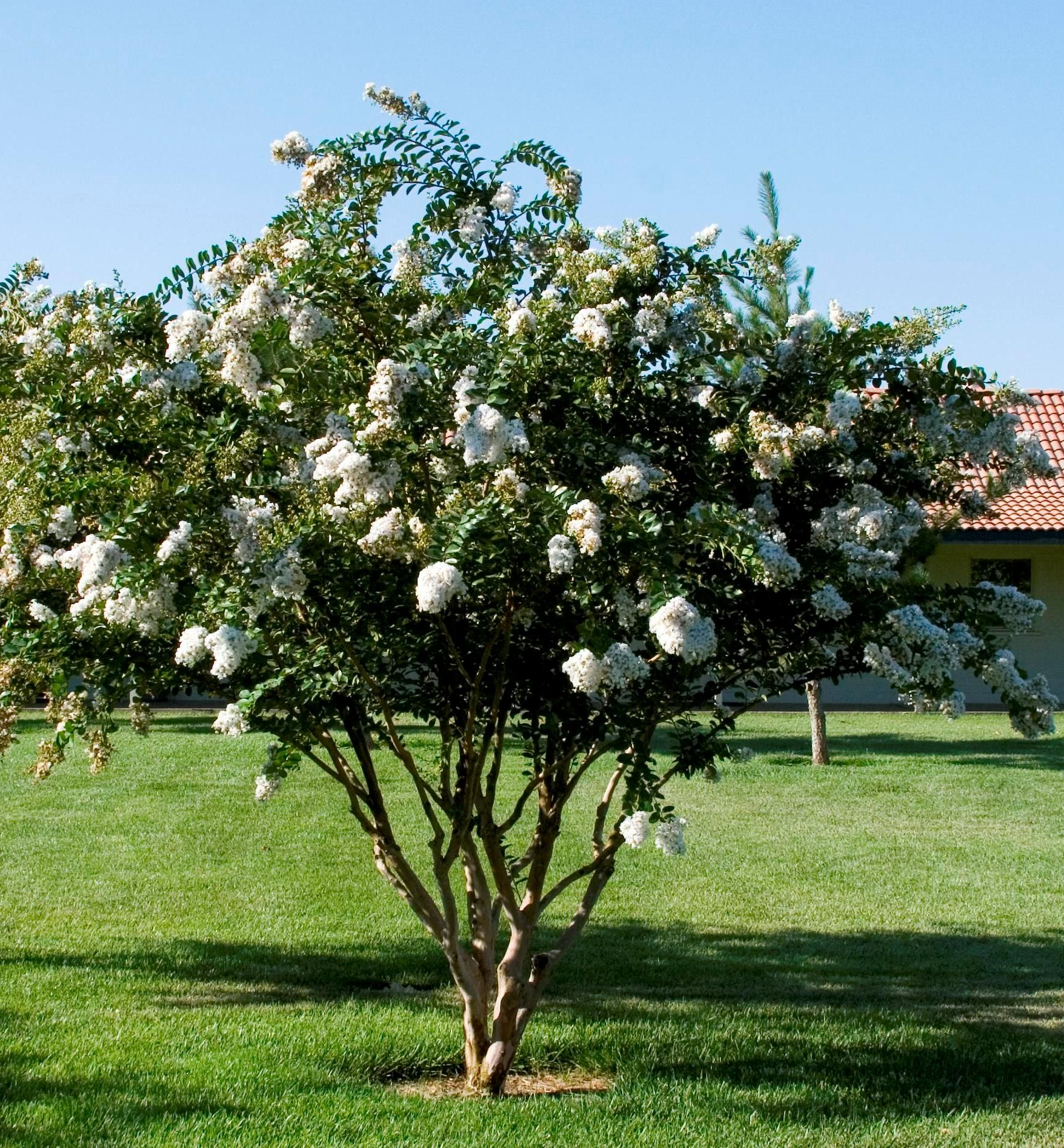 Acora White Crape Myrtle, Georgeous clusters of pure white, crinkled flowers, amazing dwarf crape mrytle that serves as a large shrub or small tree with a weeping form, rich fall color,
