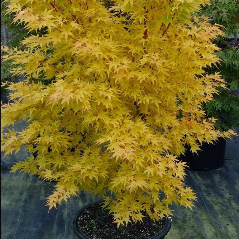 (2 Gallon) Japanese Sunrise Japanese Maple- Beautiful maple whose bark colors can range from almost yellow to coral red depending on the time of year & the age of bark. Excellent use as a focal point