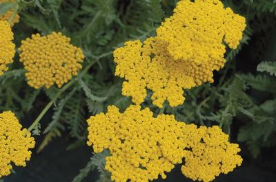 ACHILLEA Coronation Gold, golden yellow, disk shaped flower clusters and aromatic, gray-green, fern-like foliage.