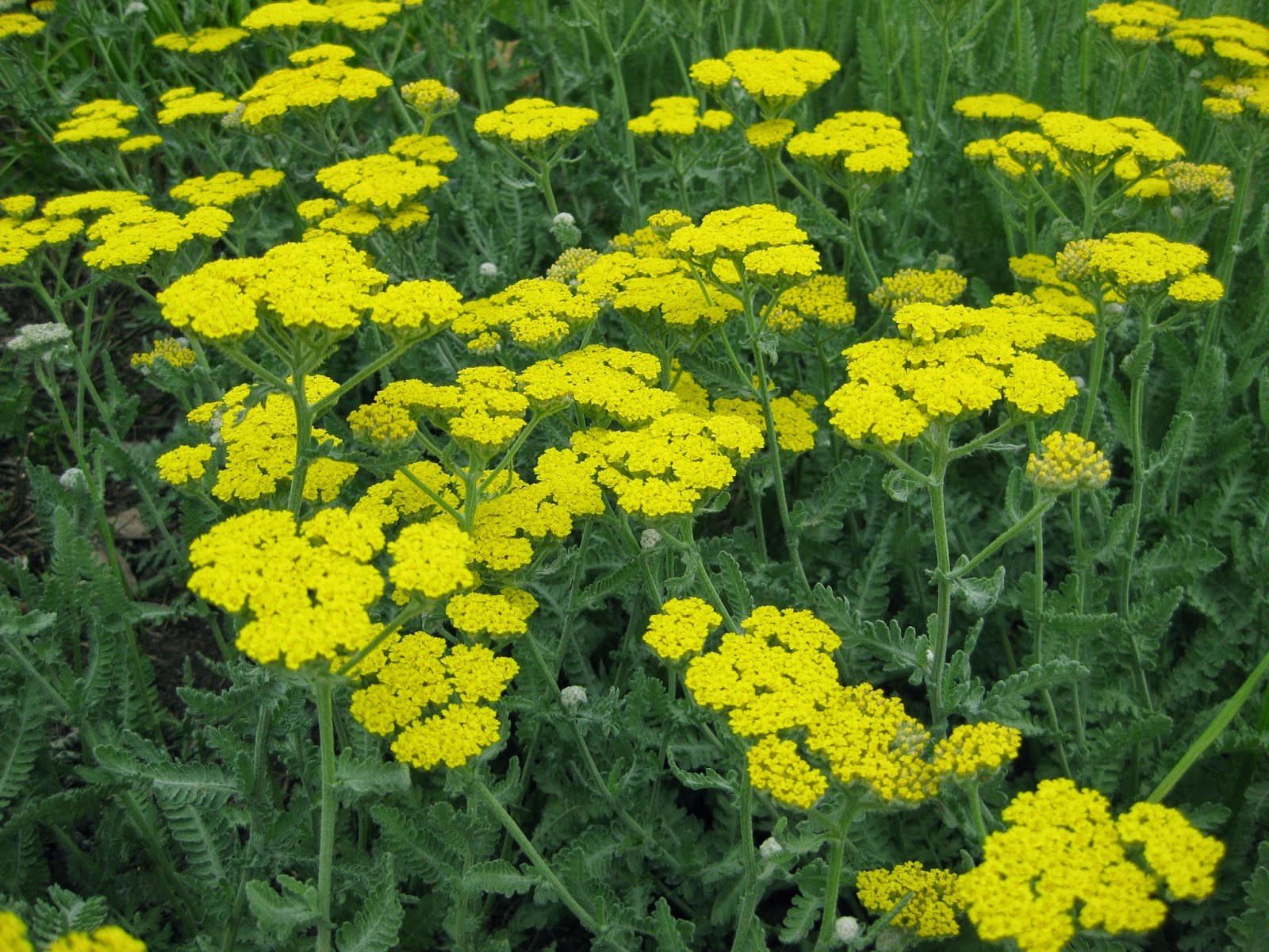 "(4"" Round Pot/10 count flat)   Achillea 'Little Moonshine'"