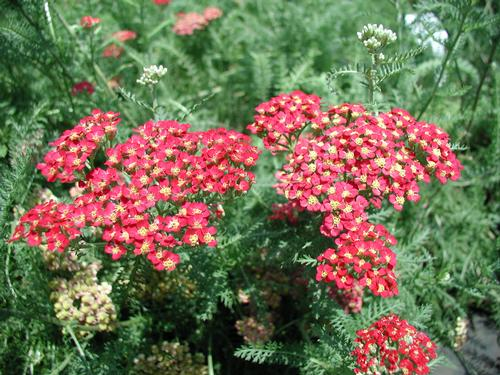 Achillea Millefolium Paprika has aromatic, green fern-like foliage and dusty red blooms.