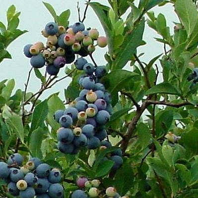 ALAPAHA Rabbiteye Blueberry Bush, medium size fruit, dark blue color, firmness and good yields. Great for eating fresh and freezing