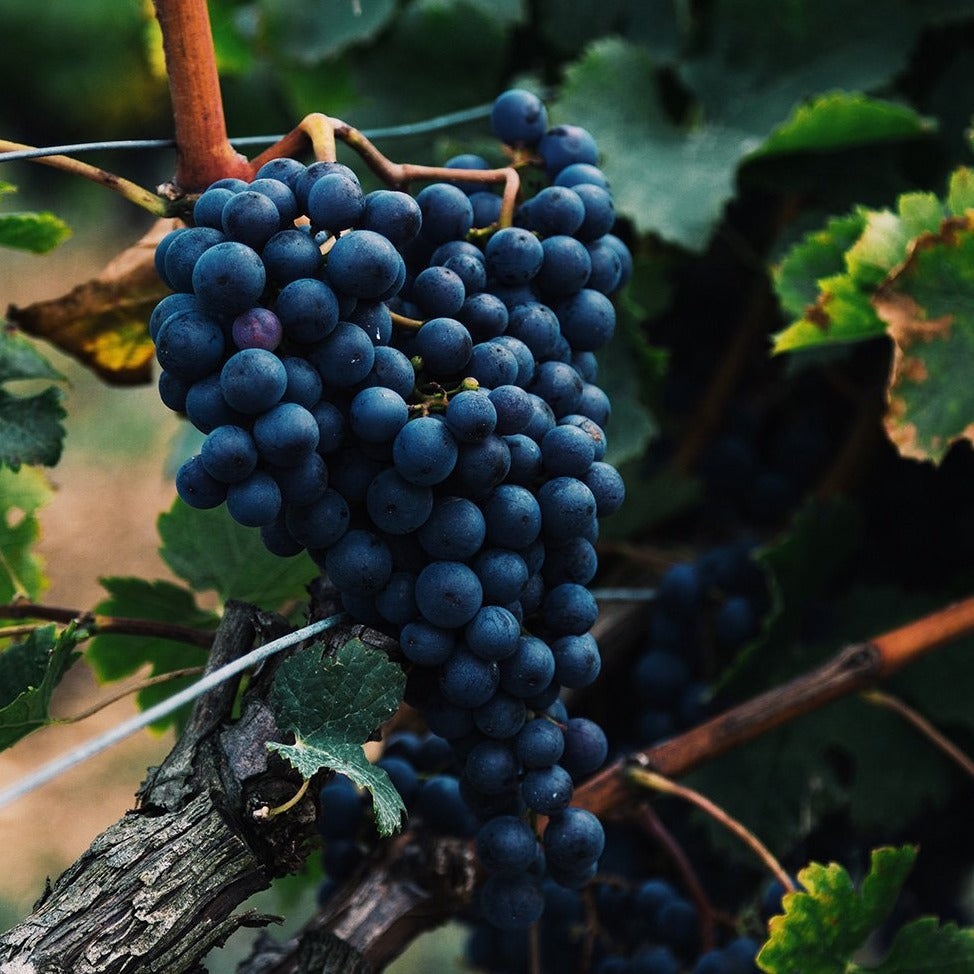 CABERNET SAUVIGNON Grape, is a small, round, black grape for wine-making, it is one of the most renowned red wine grapes