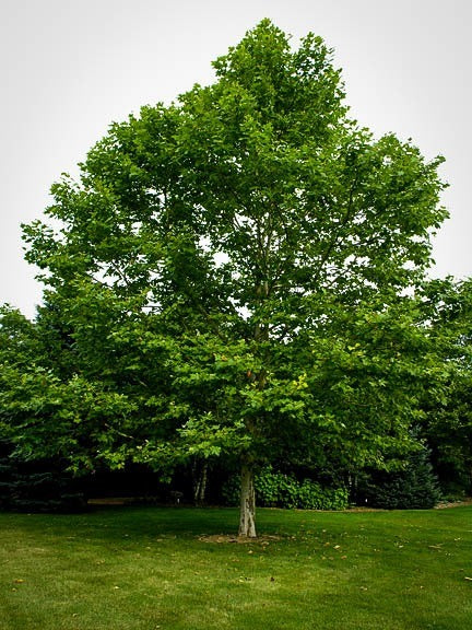 (1 Gallon) Sycamore Tree- Gorgeous large shade tree that are great for large landscapes. It also has broad green leaves but is most recognizable by its peeling bark, with patches of white and gray.