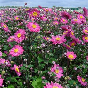 1 Gallon Pot: Anemone hupehensis japonica 'Pamina - Beautiful Semi-double, poppy-like blossoms in a glowing deep rose-pink late summer through fall. Prefers a rich, moist site; spreads to form a patch.