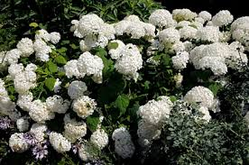 "ANNABELLE' HYDRANGEA-clusters of huge 8-12"" white flowers, cold hardy. Mounding shrub grows 3""5² high. In July, it produces huge (8""12³) round heads of pure white blooms into September PIXIES_DUD"