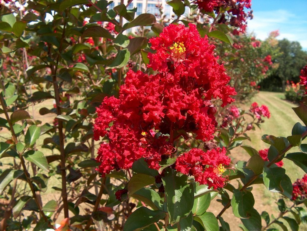 (1 Gallon) Double Dynamite Crape Myrtle- Brilliant cherry-red flowers and deep purple foliage that matures to a dark purple-green. Excellent use for upright landscaping and containers