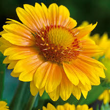(1 Gallon)Gaillardia aristata Arizona Apricot Blanketflowe - This variety of flowers are warm tones of apricot with golden yellow tips surrounding a central cone of amber, gold and green.