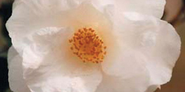 (3 gallon) APRIL SNOW Camellia, (COLD HARDY) Gorgeous Large double, snow-white flowers, blooms from winter to spring, GOOD FOR COLDER AREAS (zone 6, -10F)