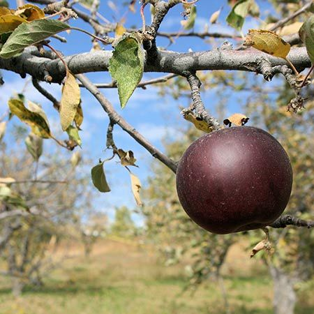ARKANSAS BLACK APPLE Tree produces lots of succulent, sweet apples. As an eating apple few can compare to the Arkansas Black. Deep red color looks almost black.