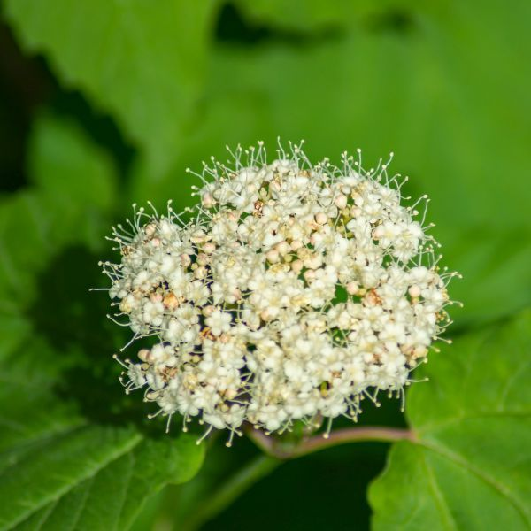Arrowwood Viburnum shrubs,stems of this plant used for Arrows by Native Americans,lots of Medicinal uses PIXIES_DUD