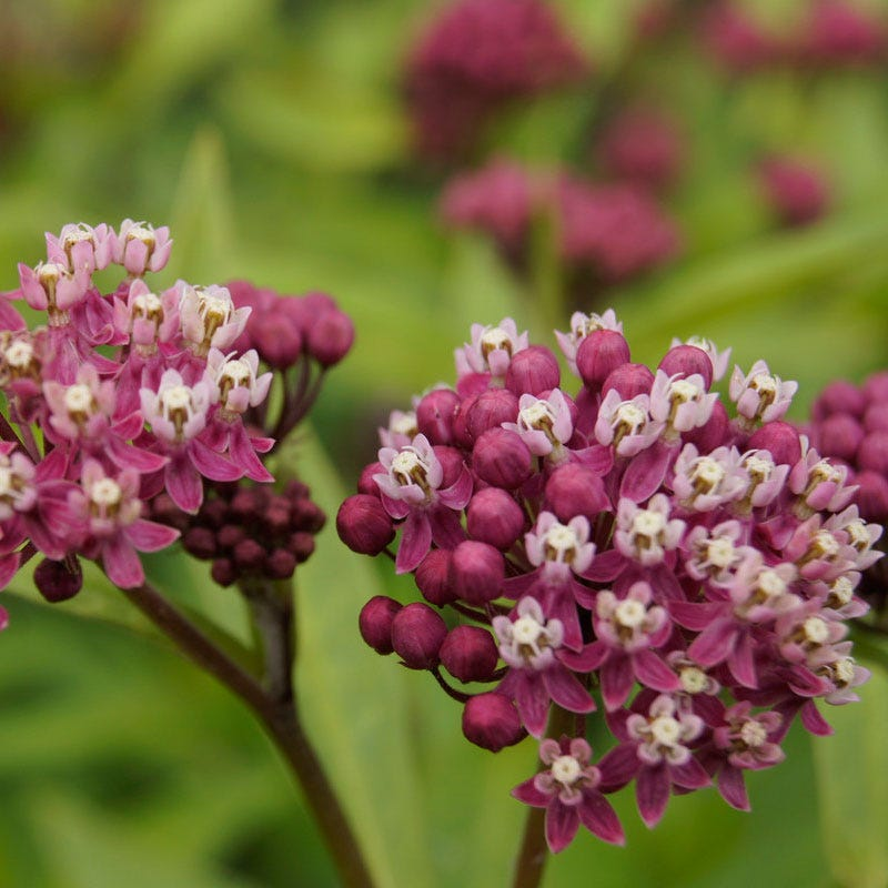 Cinderella' Swamp Milkweed- Fabulous rose pink flowers in large, compact clusters and has developed milkweed seed pods which rupture to reveal seeds with long, silvery-white, silky hairs.