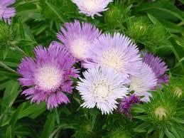 (Quart Pot/10 Count Flat)  Stokesia laevis Color Wheel PP12718 Stoke's Aster Quart pot/10 count flat- The blossoms start out white then mature to lavender and deep purple. PIXIESDS_EGN